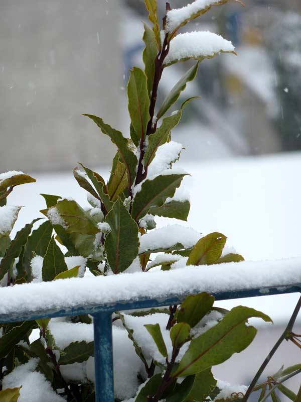 Zitronen-Lorbeertee-Winter